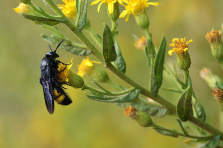 hirta: Scolia Hirta on a flower