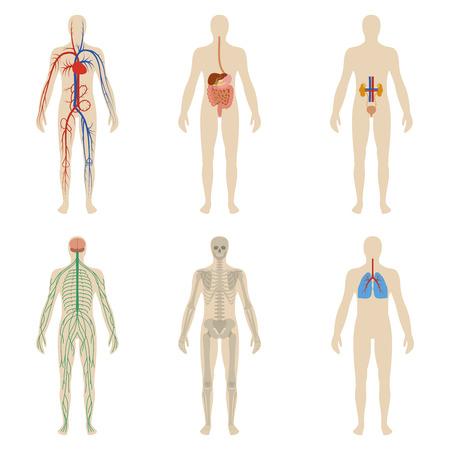 Conjunto de los órganos y sistemas del cuerpo humano vitalidad. Ilustración vectorial Vectores