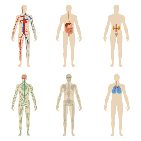 sistemas: Conjunto de los órganos y sistemas del cuerpo humano vitalidad. Ilustración vectorial Vectores