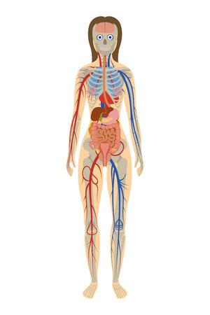 白い背景の上の女性の人体解剖学のイラスト  イラスト・ベクター素材