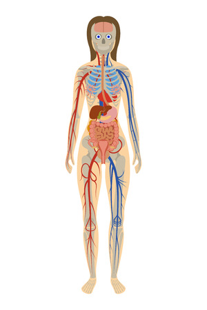 illustration of human anatomy of woman on white background