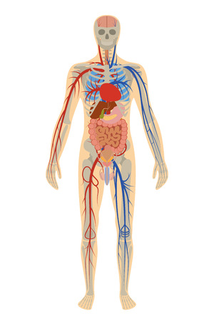 白い背景上の人間の人体解剖学のイラスト