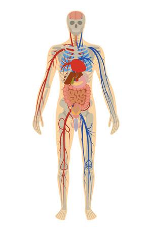 illustratie van de menselijke anatomie van de mens op witte achtergrond