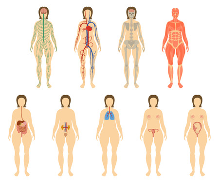 circulatory: Set of human organs and systems of the body vitality. Nervous, circulatory, skeleton, muscular, digestive, respiratory, urogenital and reproductive systems Vector illustration.