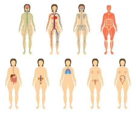 Set van menselijke organen en systemen van het lichaam vitaliteit. Zenuwachtig, bloedsomloop, skelet, spieren, spijsvertering, ademhaling, urogenitale en reproductieve systemen Vector illustratie.