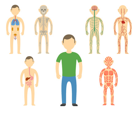 Cartoon man body anatomy. All body systems - Urogenital, Respiratory, Nervous, Circulatory, Skeleton, Digestive and Muscular systems. Vector illustration
