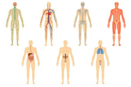 Set von menschlichen Organen und Systemen des Körpers Vitalität