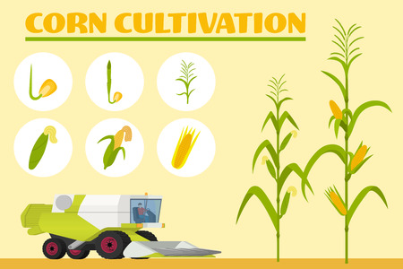Infographics the growing corn. Growth stages from seed to adult plant. Combine for harvesting corn in the field. Vector illustration Çizim