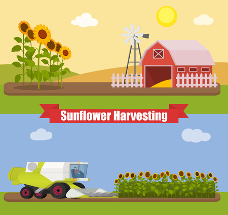 agriculture machinery: Modern combine harvester tractor working a sunflowers field. Agriculture machinery. Agriculture harvest sunflower seeds. Farm rural landscape, vector illustration. Illustration