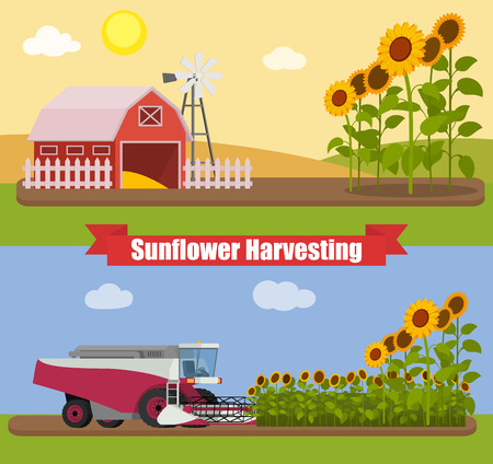 sunflower seeds: Modern combine harvester tractor working a sunflowers field. Agriculture machinery. Agriculture harvest sunflower seeds. Farm rural landscape, vector illustration. Illustration