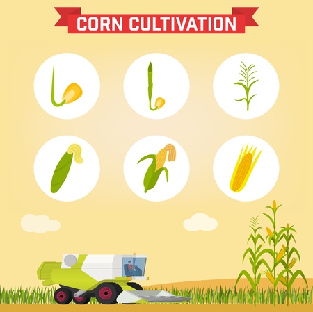 combine: Infographics the growing corn. Growth stages from seed to adult plant. Combine for harvesting corn in the field. Vector illustration Illustration