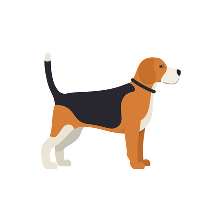 akita: Beagle Dog - Vector color serious dog Beagle breed standing