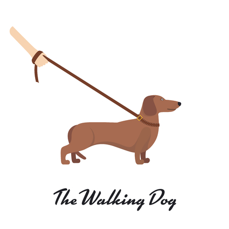 dachshund: Light Brown Dachshund breed standing on white background