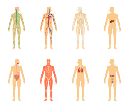 Cartoon Mann Körper Anatomie. Alle Körpersysteme - Urogenital ...