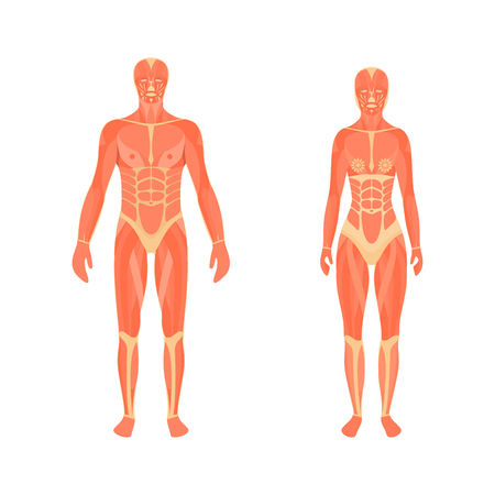 Illustration of the male and female muscular system Illustration
