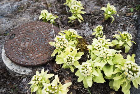 grew: Japanese butterbur scape that grew near the manhole (fukinoto) Stock Photo