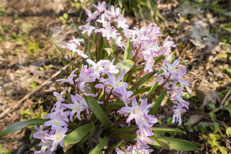 glory of the snow: Glory of the snow (Chionodoxa)