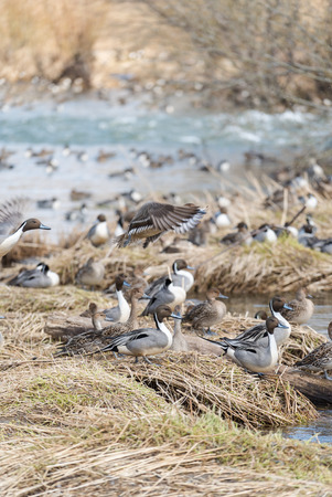 wintering: Wintering grounds of Duck (Pintail), japan Stock Photo