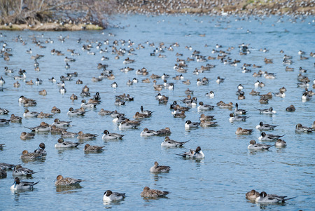 wintering: Wintering grounds of Duck (Pintail),japan