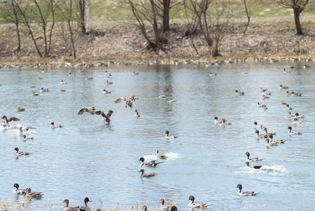 wintering: Wintering grounds of Duck (Pintail), fly, japan