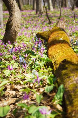 Japanese dog's tooth violet and Corydalis yanhusuo 版權商用圖片