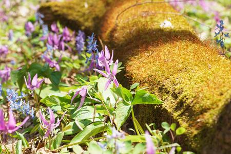 corydalis: Japanese dogs tooth violet and Corydalis yanhusuo Stock Photo