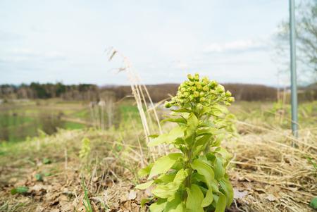 butterbur: Japanese butterbur (fukinotou)