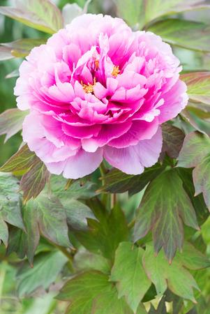 pink peony flower (botan)