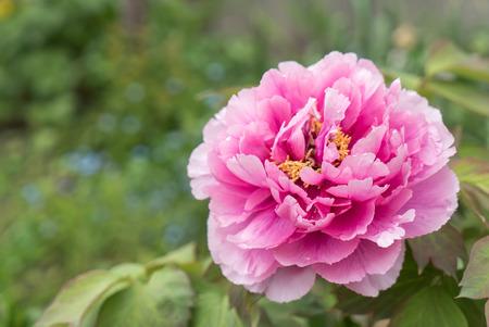 botan: pink peony flower (botan)