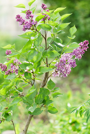 looming lilacs , purple flowers