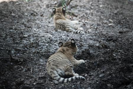 tigre bebe: Hermano del bebé tigre, zoológico Asahiyama, asahikawa japón Foto de archivo