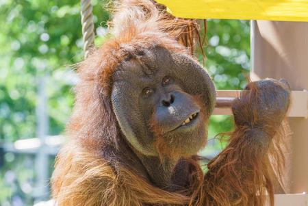 Orangutan laugh , asahiyama zoo , asahikawa japan