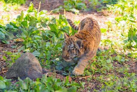 tigre bebe: tigre de bebé, parque zoológico Asahiyama, asahikawa japón Foto de archivo