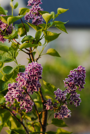 morning dew: Purple lilac getting wet in the morning dew Stock Photo