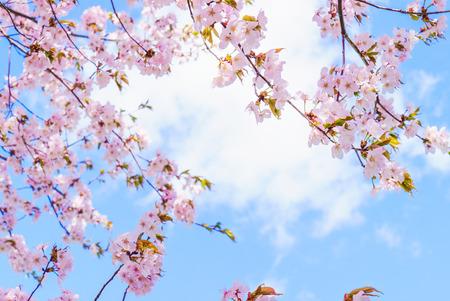 Fantastic cherry blossom