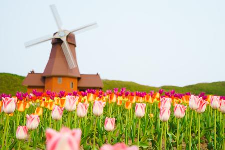tulip field with windmill Banco de Imagens