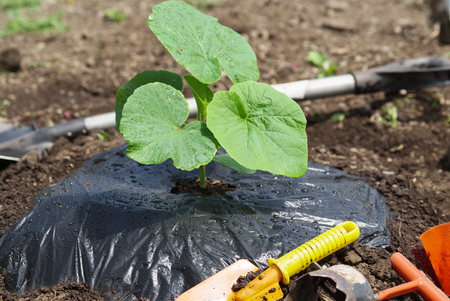 planting pumpkin seedling Stock Photo
