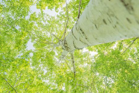 White birch new leaf 写真素材