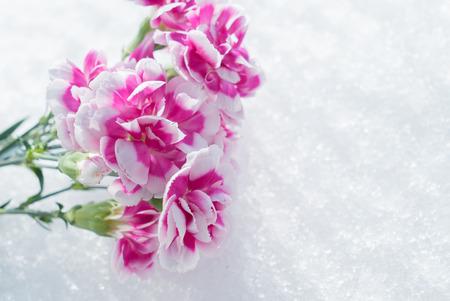 Carnation on snow background
