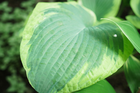 green hosta leaf
