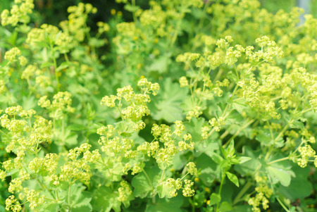 alchemilla mollis: Closeup of the Common a Mantle flowers (Alchemilla mollis)