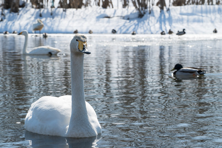 Whooper swan the winter at the river Stock Photo