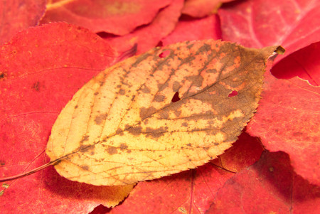 autumn yellow leaf on red leafs background