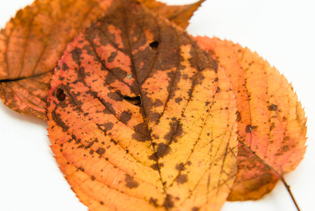 autumn brown leafs on white background Banco de Imagens