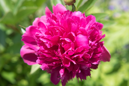 Closeup pink peony flower (botan)