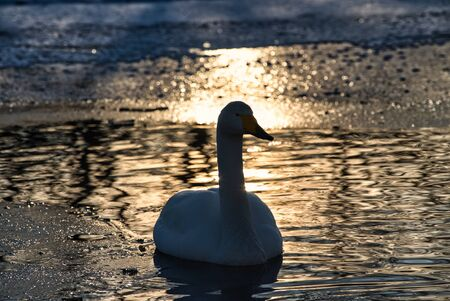 Swan in sunset  on a river