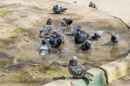 Flock of pigeons swimming in the dirty puddle