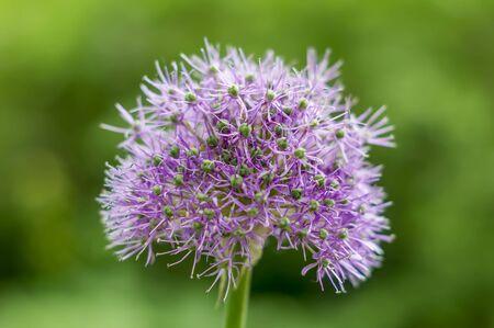 Purple ball Allium on green background Фото со стока
