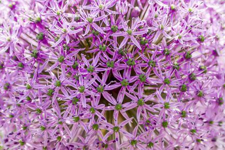 Purple ball Allium background