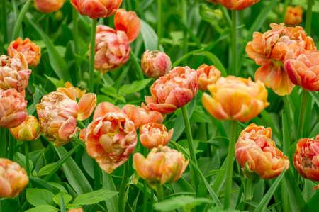Field of tulips Orange Angelique